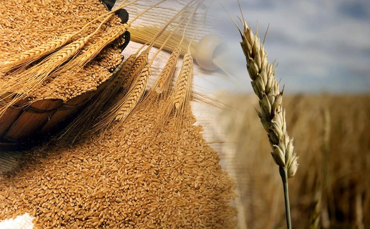 Giá lúa mì Nga duy trì vững do điều kiện cây trồng thuận lợi