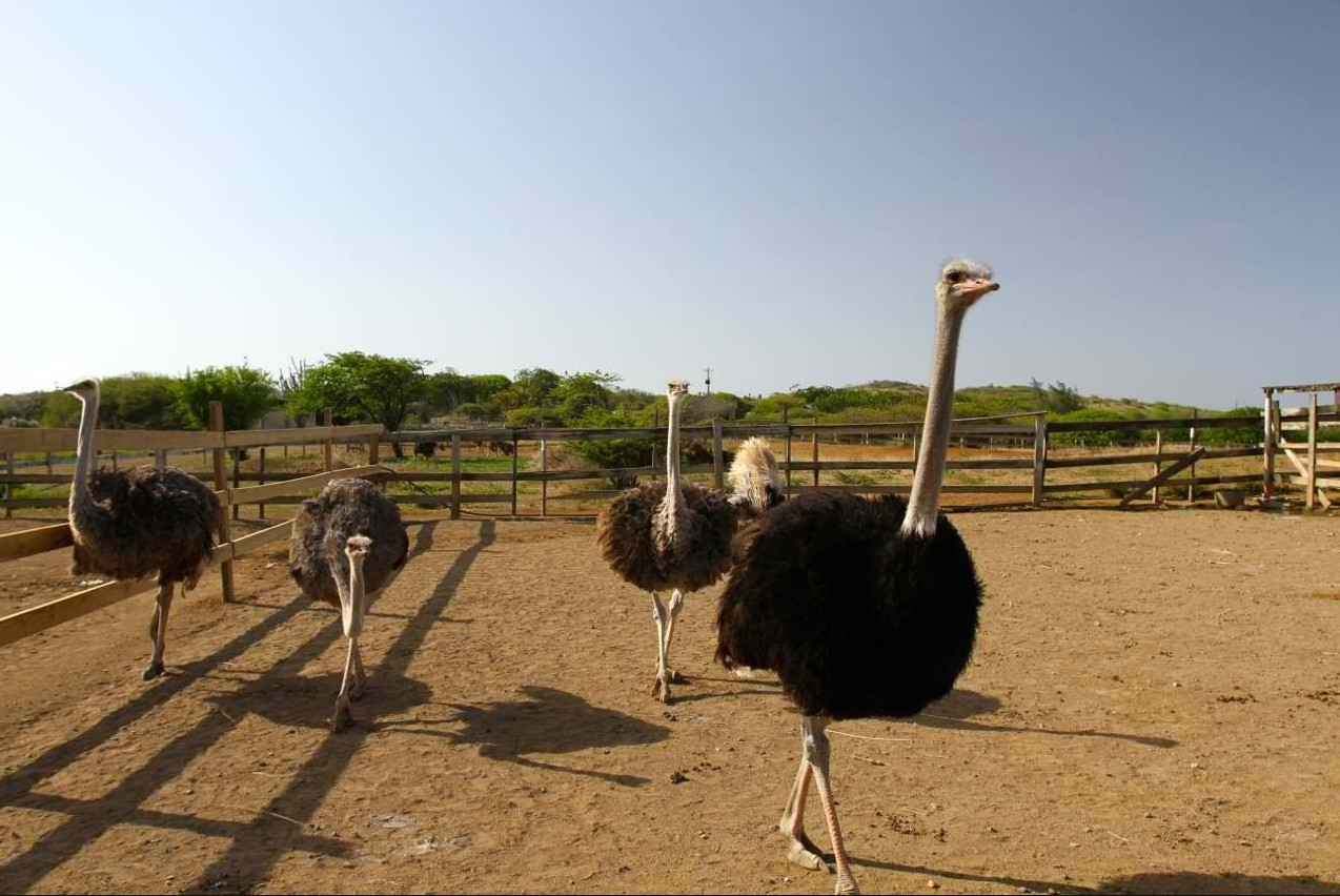 бизнес-идея открытия страусиной фермы