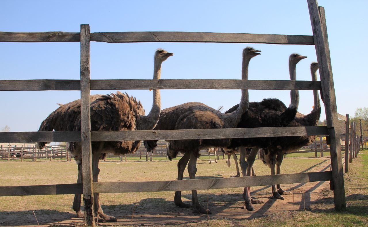 бизнес на разведении страусов