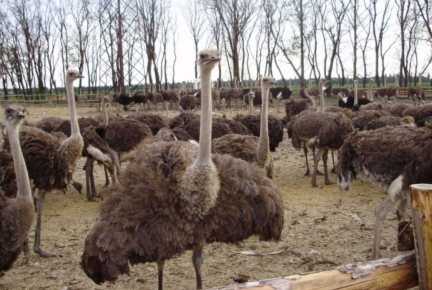 заработок на страусиной ферме