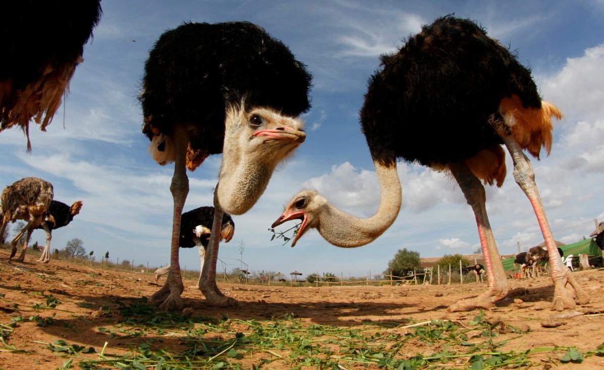 как организовать страусиную ферму