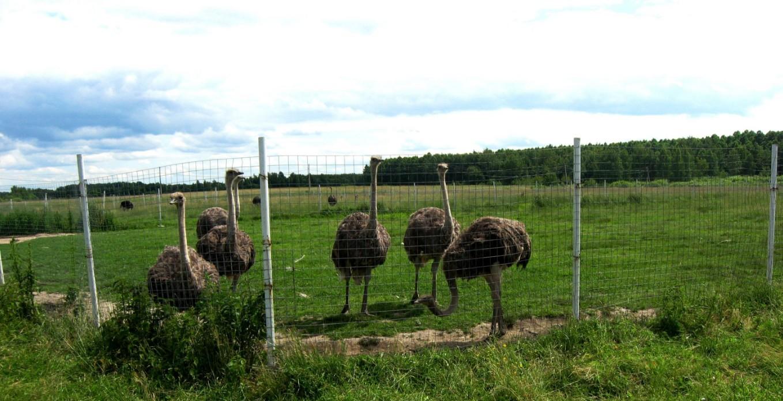 способы заработка на страусиной ферме