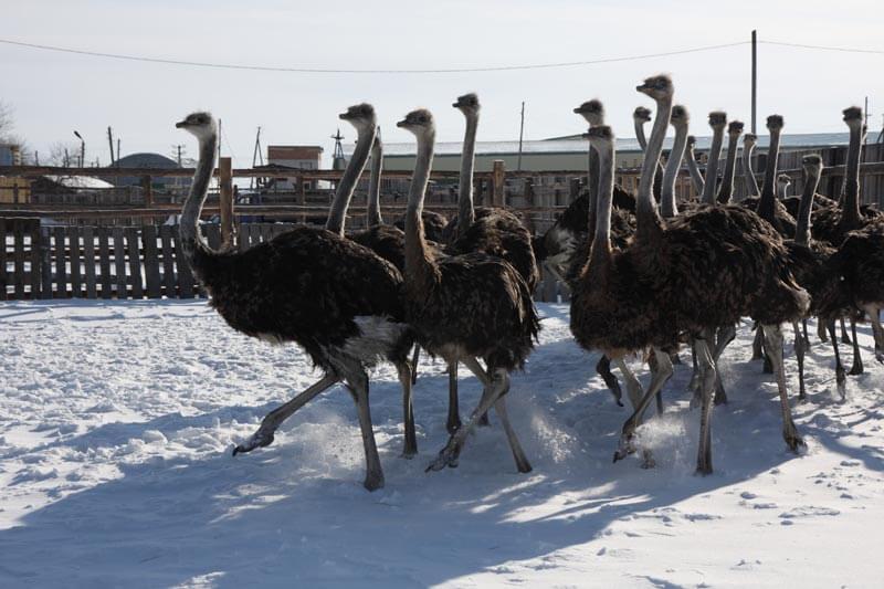 Разведение страусов на мясо, жир и яйца