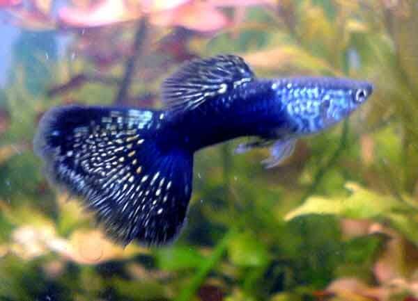 Неприхотливые аквариумные рыбки, их разведение и продажа