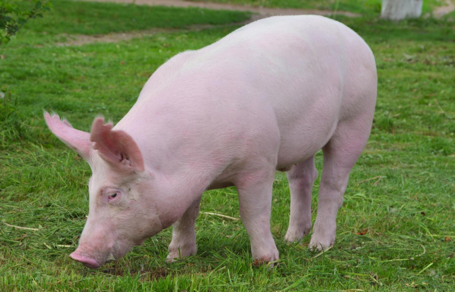 бизнес на разведении свиней