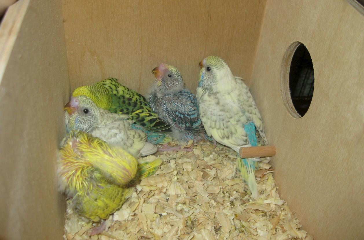 бизнес по разведению попугаев в домашних условиях
