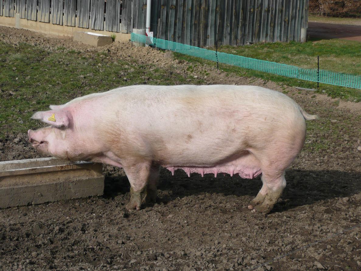 как организовать бизнес на разведении свиней