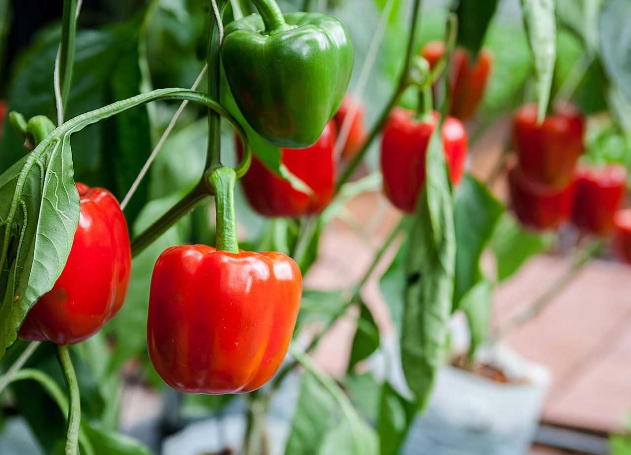 как организовать бизнес по выращиванию перца в теплице
