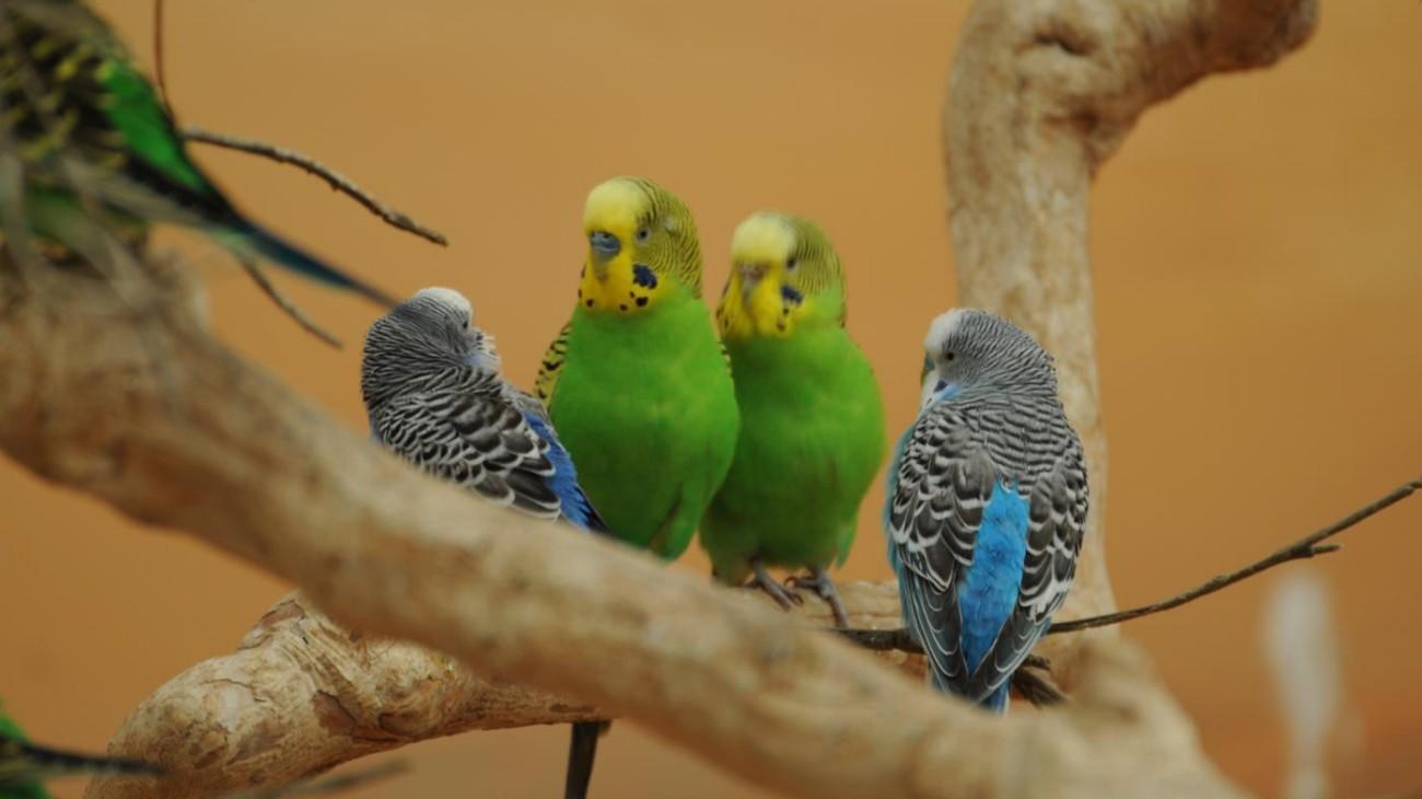 как организовать бизнес по разведению попугаев на дому