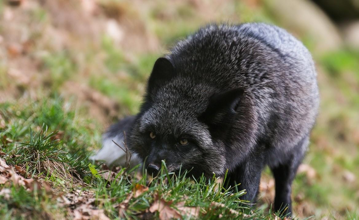 бизнес на разведении чернобурой лисицы